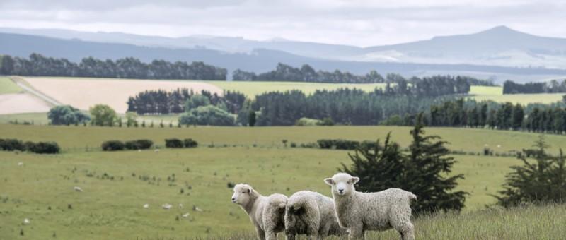羊 (2)