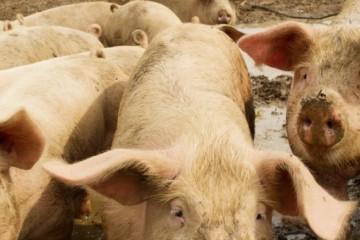 散户养殖生猪还有出路吗?有哪些注意事项?