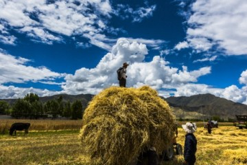 好消息,2020年全国大规模小麦跨区机收全面展开!