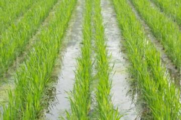 如何对南方稻区水稻生产进行扶持?4大措施值得关注!