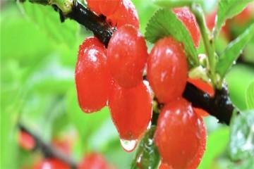 大棚樱桃投入成本大吗?一亩收入多少?
