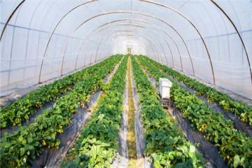 大棚草莓种植需要投入多少成本?一亩利润是多少?