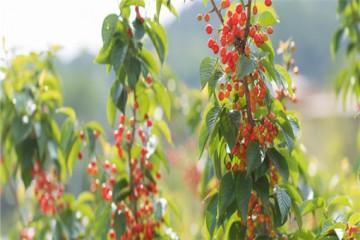樱桃适合在哪里种植?有什么种植注意事项?