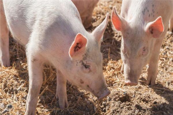 非洲猪瘟疫苗-摄图网