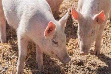 非洲猪瘟疫苗何时上市?2020年能上市吗?