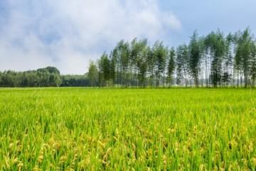 有机水稻怎么种?种植技术要点详解