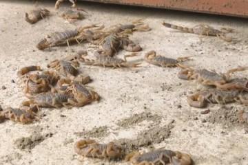 蝎子的养殖技术及市场前景是什么?价格多少钱一斤?