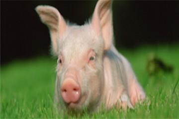 2021年春节前后生猪养殖与非瘟防控实用技术