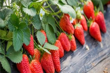 草莓断茬了怎么办?别急,可以这样补救!