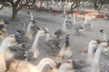 鹅应激是指什么?夏季养鹅怎么预防鹅应激?