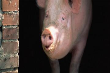 养猪知识:母猪产前有哪些表现?分娩要注意什么?