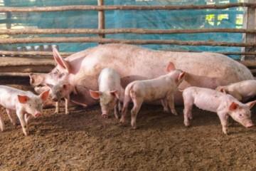 仔猪如何开食?猪断奶后不掉膘的方法有哪些?