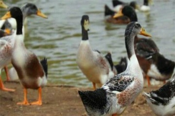 2021年农村养鸭,鸭场建设技巧方法及要点有哪些?