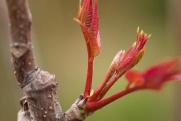 保温箱怎么栽培香椿芽菜?有哪些具体方法?