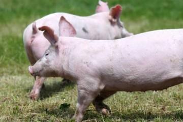2021年林地能建猪圈吗?林地养猪注意事项有哪些?