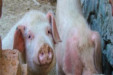 2021年农村可以养猪吗?为什么农村养猪越来越不赚钱?