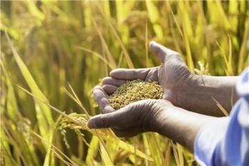2021年稻谷最低收购价是多少钱一公斤?附各地稻谷最低收购价!